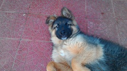 Picolo, chien Berger allemand