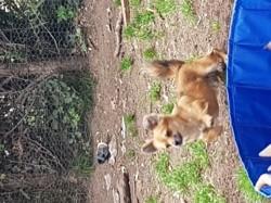 Picsou, chien Chihuahua