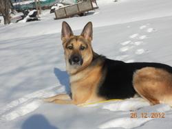 Picsou, chien Berger allemand