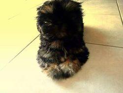 Picthou, chien Shih Tzu