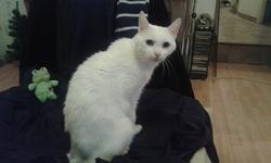 Pierrot, chat Européen