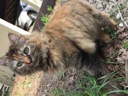 Pietra, chat Sibérien