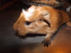 Pif, rongeur Cochon d'Inde