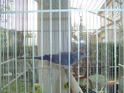 Pigeon, autres