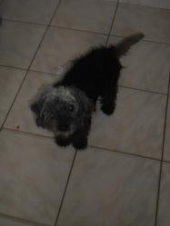 Pika, chien Caniche