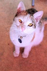 Pika, chat Européen