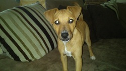 Pika, chien Pinscher