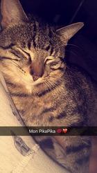 Pikatchu, chat Bengal