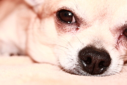 Pikatchu, chien Chihuahua