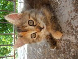 Pikili, chat