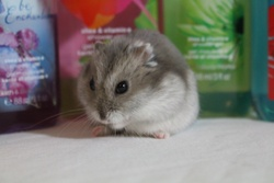 Piko, rongeur Hamster