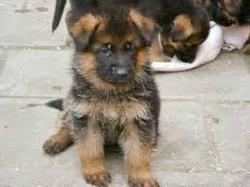 Pila, chien
