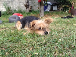 Pillou, chien Terrier australien
