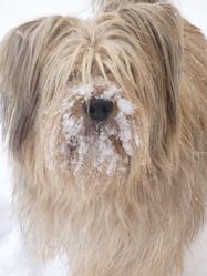 Pilly, chien Berger des Pyrénées