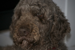 Pilou, chien Caniche