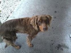 Pilou, chien Épagneul breton