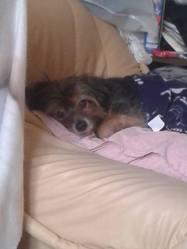 Pilou, chien Yorkshire Terrier
