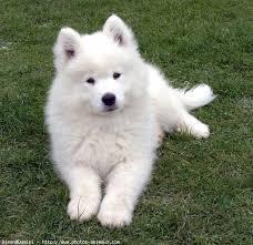 Pilou, chien Samoyède