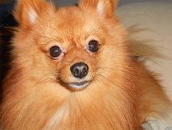 Pilou, chien Spitz allemand