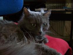 Pilou, chat Chartreux