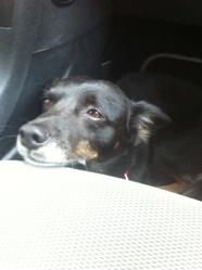 Pilou, chien Pinscher