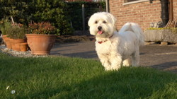 Pilou, chien Bichon bolonais