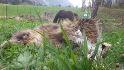 Piloute, chat Norvégien