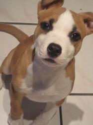 Pimki, chien American Staffordshire Terrier