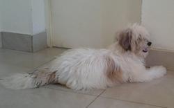 Pimkie, chien Coton de Tuléar