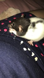 Pimkie, rongeur Rat