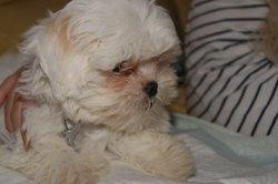 Pimky, chien Bichon à poil frisé