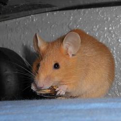 Pimmy, rongeur Souris