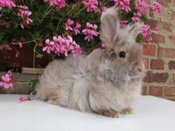 Pimousse, rongeur Lapin