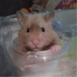 Pimousse Au Paradis, rongeur Hamster