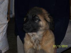 Pimousse, chien Leonberger