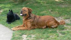 Pimousse, chien Schipperke