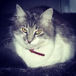 Pimprenelle, chat