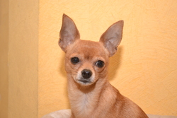 Pin-Up, chien Chihuahua