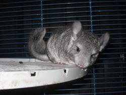 Pina, rongeur Chinchilla