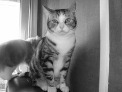 Pinceau, chat Européen
