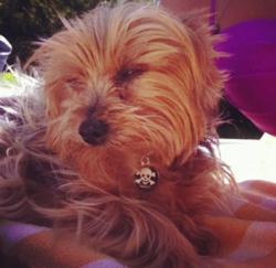Pinceau, chien Yorkshire Terrier