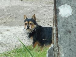 Pinceau, chien Chihuahua