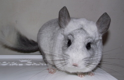 Pinceau, rongeur Chinchilla
