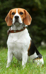 Pincesse, chien Beagle