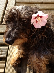 Pink, chien Teckel