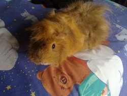 Pinkie, rongeur Cochon d'Inde