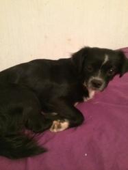 Pinky, chien Teckel