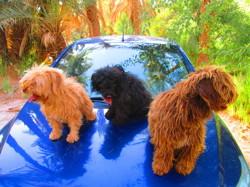 Pinky,toska E, chien Bichon maltais