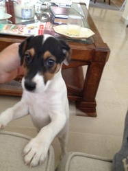 Pino, chien Jack Russell Terrier