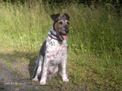 Pinocchio - Rip, chien Fox-Terrier